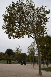 Autumn Tree at Champ de Mars Park in Paris.jpg